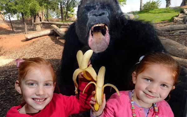 Hungry Gorilla