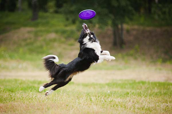 arthritic dogs